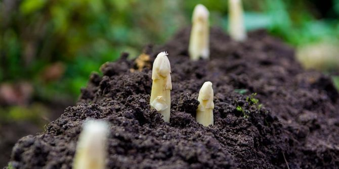 csoservizi-csoitaly-asparagi-raccolta-003